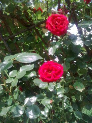 2-trandafiri-super-image12317