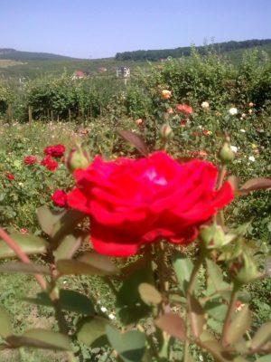 33 trand roşu zare Image9233