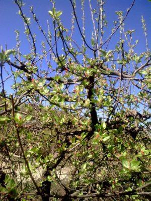 boboci roşii măr Image15103