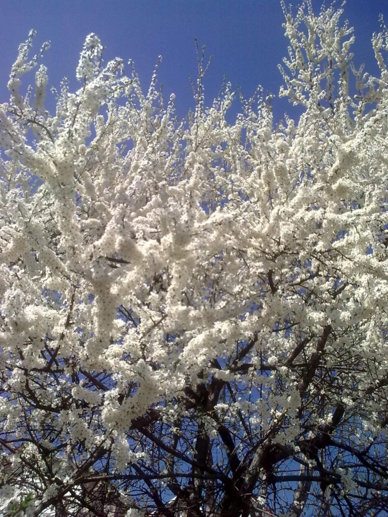 flori albe 2 04 2017 j Image15073