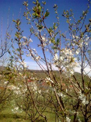 flori albe Image15100