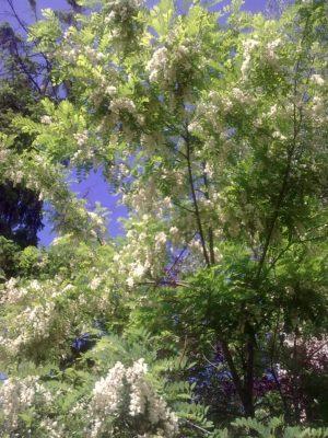 00 salcam flori superbe Image15296
