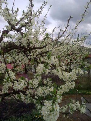 2 flori albe 5 05 2017Image15129