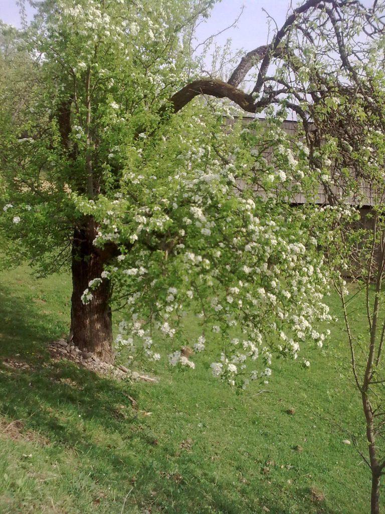 copac bătrân deal localitatea Strâmba Image15234