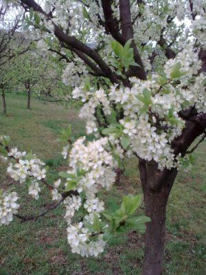 copac cu flori 1 Image15153