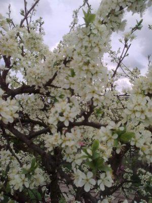 flori albe prima 5 05 2017Image15128