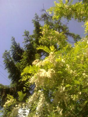 prima flori salcam Image15298
