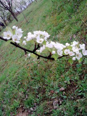 ramură cu flori albe ultima Image15145