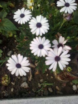 super flori albe