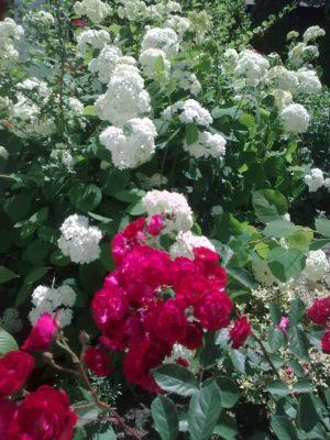 1 1 flori albe şi roşii foto j n