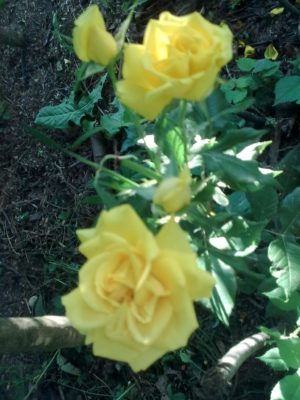 1 trandafiri galbeni jn