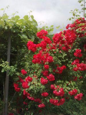 prima trandafiri roşii jn