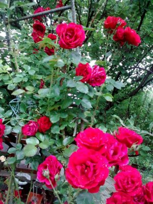 trandafiri roşii super Image15951jn