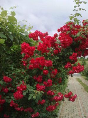 trandafiri roşii ultima jn