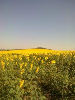 ultima floarea soarelui meleaguri copilărie