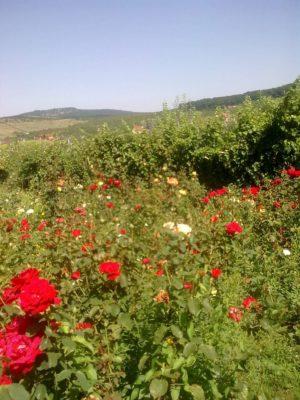 flori grădină ADELA