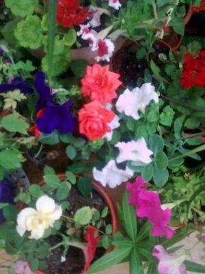 florile mele super foto jn