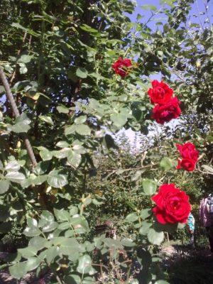 trandafiri ADELA