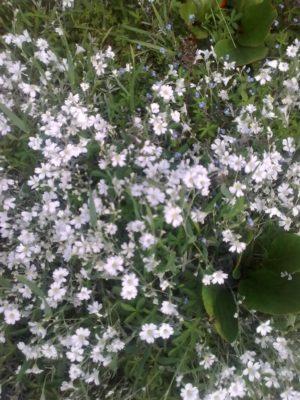 flori albe şi de nu mă uita foto jn