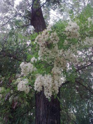 flori albe de salcâm foto jeniţa naidin 2017
