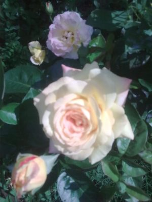 trandafir alb jn